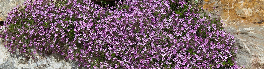 Wildflower Groundcover Seeds American Meadows