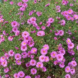 Fall flowering asters perennials american meadows mightylinksfo