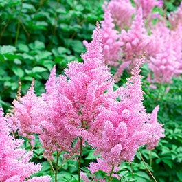 Perennial plants gardens american meadows mightylinksfo