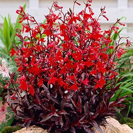 Lobelia cardinal flower american meadows mightylinksfo