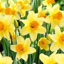 Flower bulbs fall flower bulbs spring flower bulbs american meadows daffodil flower bulbs mightylinksfo