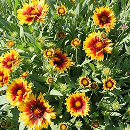 Gaillardia perennials indian blanket firewheel american meadows mightylinksfo