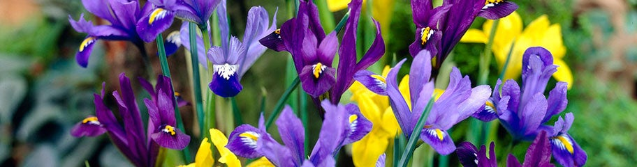 iris flower bulbs  american meadows, Beautiful flower