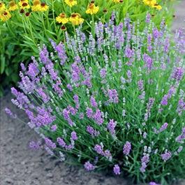 Lavender Plants Lavandula American Meadows