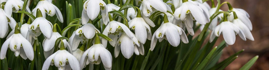 Snowdrop Flower Bulbs Galanthus American Meadows