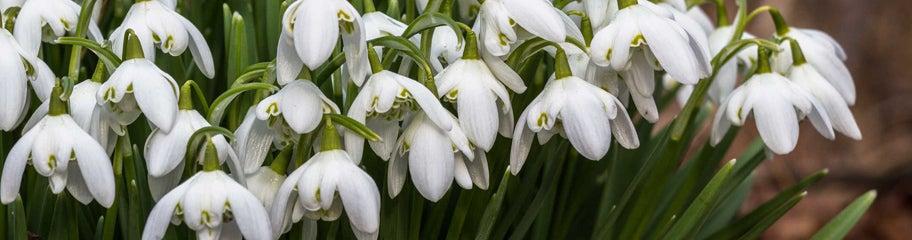 snowdrop flower bulbs galanthus american meadows