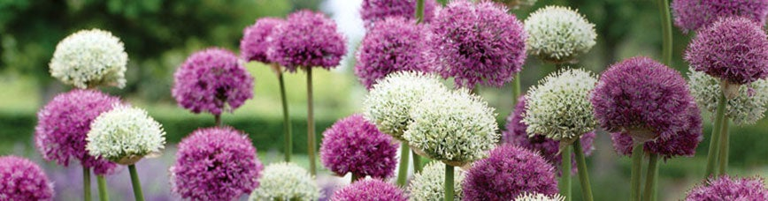 Flower bulbs fall flower bulbs spring flower bulbs american meadows allium flower bulbs mightylinksfo