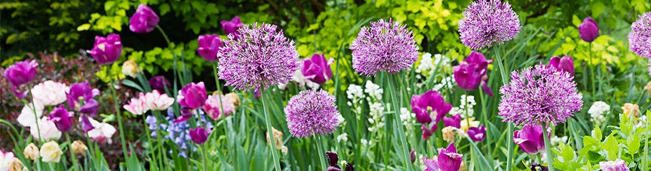 25 Mixed Allium Fragrant Hardy Perennial Spring Flowering Multi Coloured Bulbs