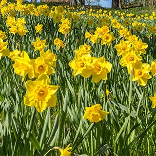 Low Maintenance and Easy to Grow Spring Garden Plant Narcissus Daffodil Hardy Spring Bulbs Highly Fragrant Ivory Double Flowers Rose of May Bulbs by Thompson /& Morgan 40 x Daffodil