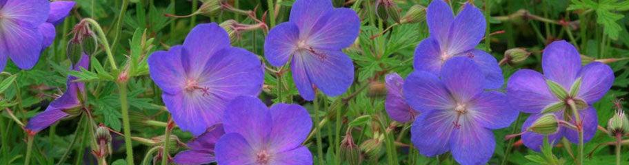 Hardy Geranium Perennials Crane S Bill American Meadows