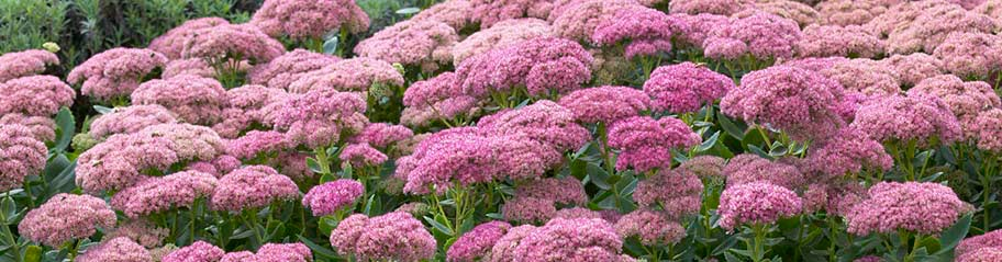 Sedum Stonecrop American Meadows Advantages Rabbit Resistant