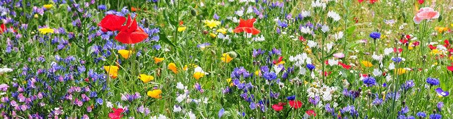 annual wildflower seeds  american meadows, Beautiful flower