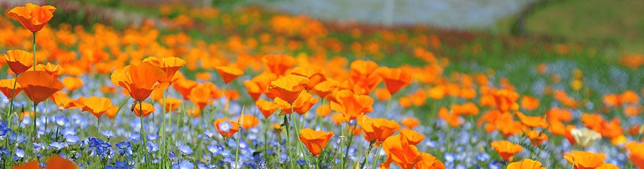 California poppy seeds eschscholzia californica american meadows colorful native blooms to light up the landscape california poppies mightylinksfo Gallery
