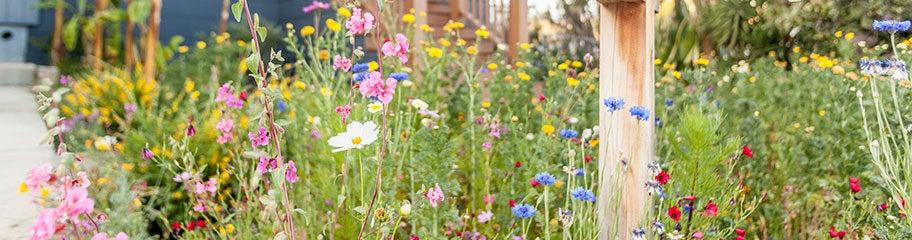 Drought Resistant Wildflower Seeds   American Meadows