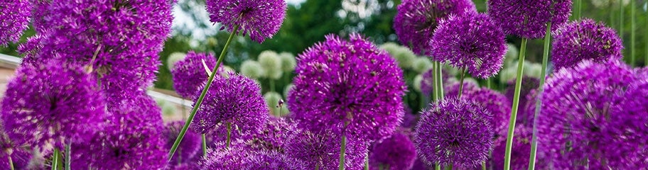 Allium bulbs allium flower bulbs american meadows unique globe shaped blooms are made up of hundreds of tiny flowers allium mightylinksfo