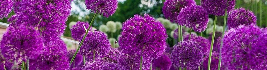 Allium Bulbs Allium Flower Bulbs American Meadows