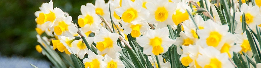 Daffodil Flower Bulbs Narcissus