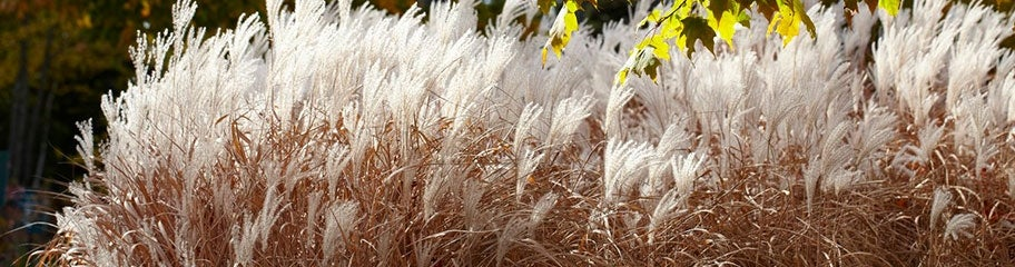Ornamental grasses perennials american meadows low maintenance visual appeal that lasts all year long ornamental workwithnaturefo