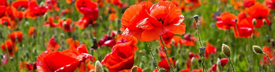 Poppy flower seeds american meadows bright colors and flouncy flowers make poppies a summertime favorite mightylinksfo
