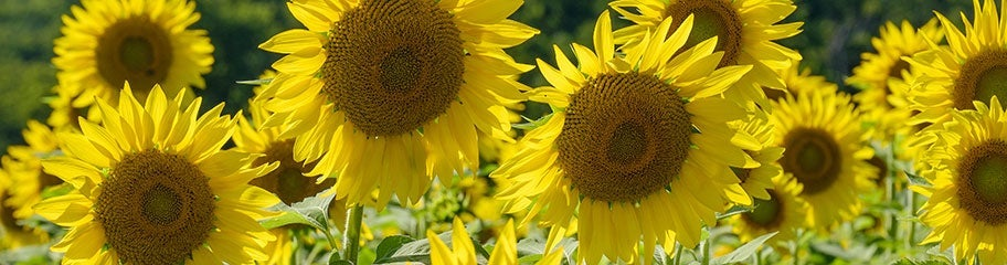 Sunflower seeds american meadows tall plants with bold blooms radiate the spirit of summer mightylinksfo