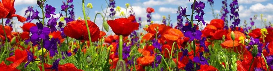 Wildflower Mix Seed Mixtures American Meadows