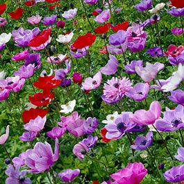 Flower bulbs fall flower bulbs spring flower bulbs american meadows anemone flower bulbs mightylinksfo