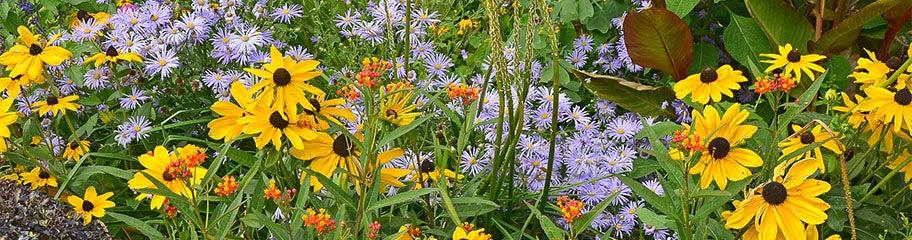 Moisture Loving Perennials American Meadows Advantages Plants