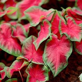 Flower bulbs fall flower bulbs spring flower bulbs american meadows caladium bulbs mightylinksfo Gallery