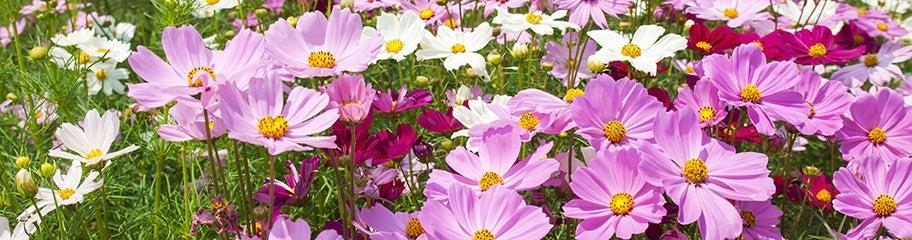 Cosmos flower seeds american meadows simple delicate flowers form on tall plants last all season mightylinksfo