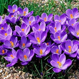 Crocus flower bulbs crocus bulbs american meadows mightylinksfo