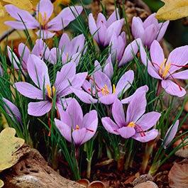 Flower bulbs fall flower bulbs spring flower bulbs american meadows fall flowering crocus bulbs mightylinksfo