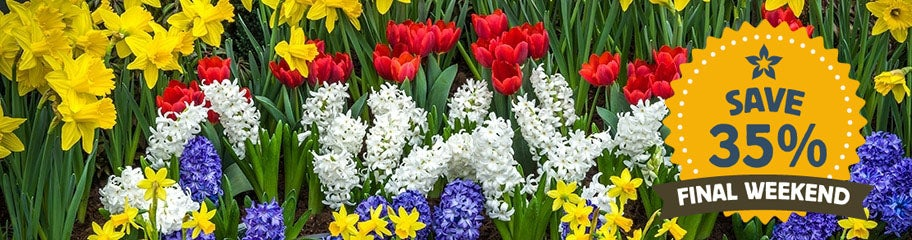 Flower Bulbs, Fall Flower Bulbs, Spring Flower Bulbs - American Meadows