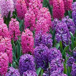 Flower bulbs fall flower bulbs spring flower bulbs american meadows hyacinth flower bulbs mightylinksfo Image collections