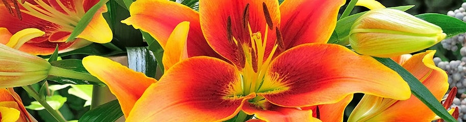 lily flower bulbs lillies lilium american meadows