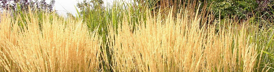 Ornamental Grasses Perennials American Meadows