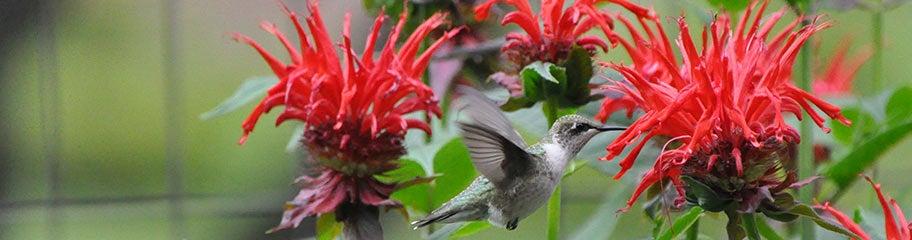 Attract Hummingbirds Perennial Plants That Attract Hummingbirds