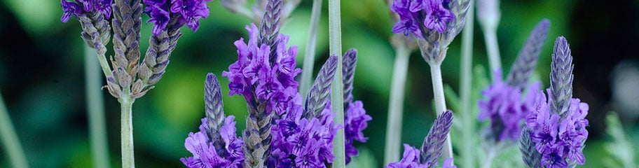 french lavender stuns in shades of deep violet - French Lavender