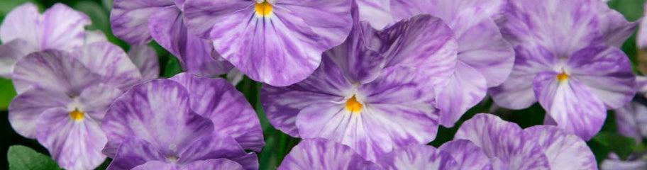 Viola Cornuta Viola Perennials American Meadows Advantages