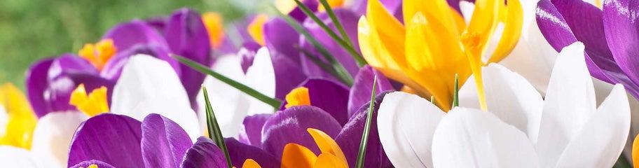 Crocus flower bulbs crocus bulbs american meadows first sign of spring everybody knows crocus flower mightylinksfo
