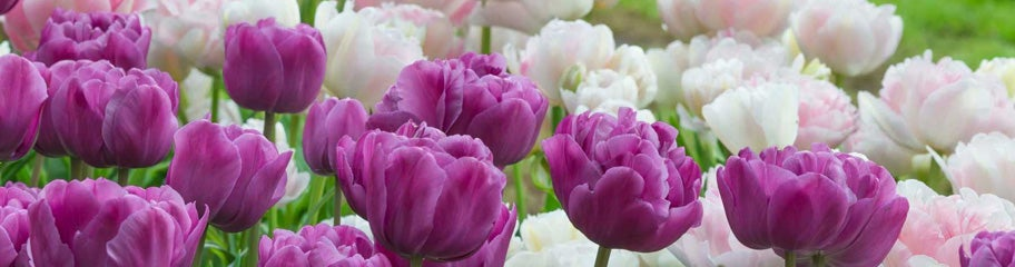 White Purple Tulip Bulbs Perennial Brilliant Blue Flower Mix Double Hardy Gifts