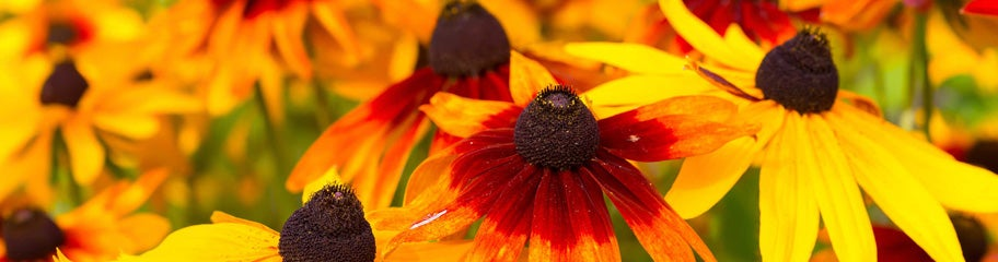 Rudbeckia perennials black eyed susan american meadows sunny blooms that bring tireless cheer to the yard mightylinksfo