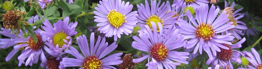 fall flowering asters, perennials  american meadows, Natural flower