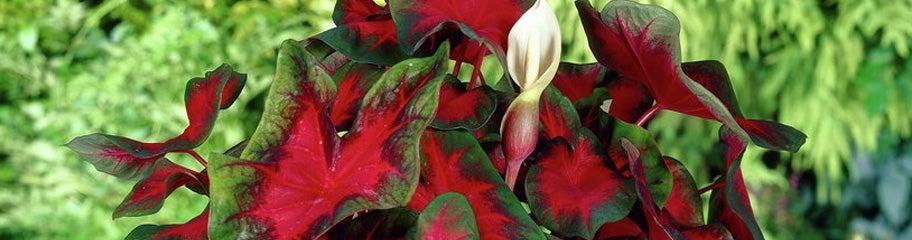 Flower bulbs for shade shade loving flower bulbs shade bulbs shade loving flower bulbs mightylinksfo