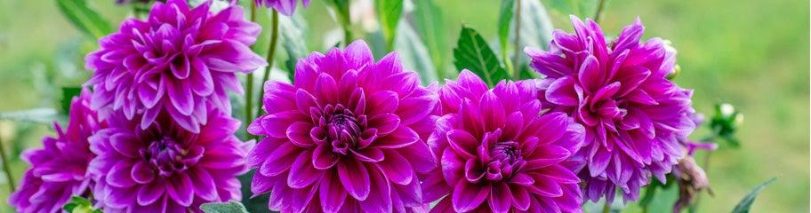 Dahlia flower bulbs american meadows vigorous dahlias produce a non stop supply of beautiful blooms mightylinksfo