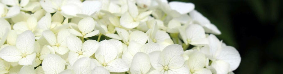 Hydrangea perennial shrubs american meadows flowering easy growing shrubs that make their home in the shade hydrangeas mightylinksfo