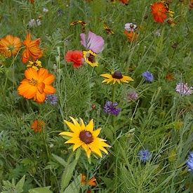 Dry Area Wildflower Seed Mix