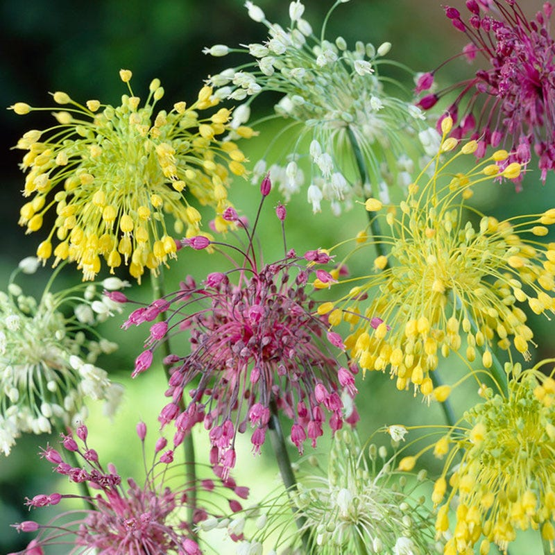 Fireworks Allium Mix Allium Cernuum American Meadows