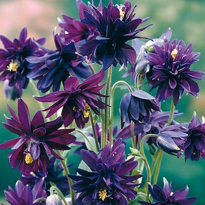 Columbine Clementine Purple Aquilegia Vulgaris American Meadows