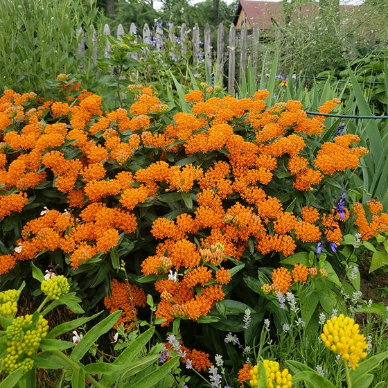 Orange Butterfly Weed, Asclepias tuberosa