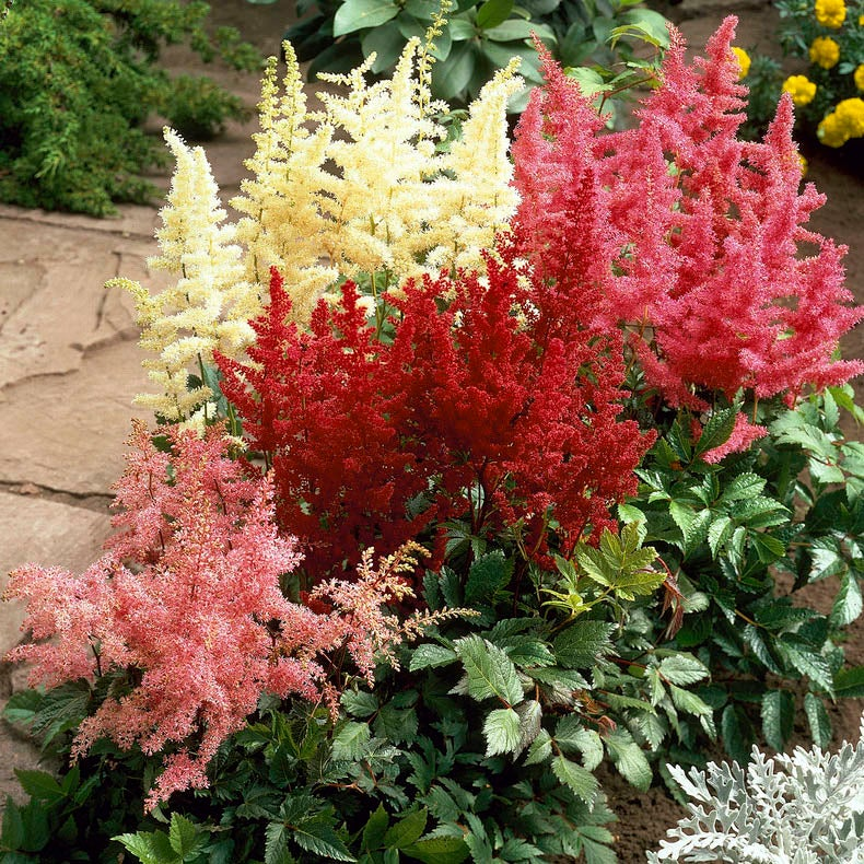 lot of 4 Red Astilbe Winter Hardy Perennial~Bare-root plants